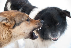 Grin. Two dogs grin against each other Stock Photo