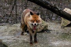Grin black fox. Animals in the Belogorsk Safari Taigan Park stock photo