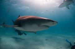 Grin dello squalo Fotografia Stock Libera da Diritti