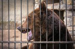 Grin grizzly bear, dangerous predator. Royalty Free Stock Photos