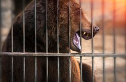 Grin grizzly bear, dangerous predator at sunset. Stock Photography