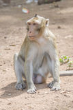 The grin of the monkey. Rhesus macaque smiling and looking into the distance stock photos