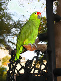 Grin parrot. Siting in the branch Royalty Free Stock Photos