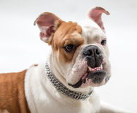 Grin. Portrait of the French bulldog stock images