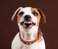 Grin puppy. Fun emotional dog Royalty Free Stock Photo