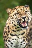 Grina Amur Leopard Royaltyfria Bilder