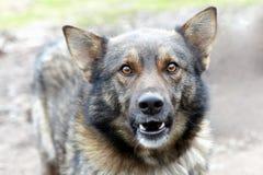grina för hund Fotografering för Bildbyråer