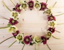 Grinalda criativa do arranjo da flor dos hellebores ou de rosas quaresmais sobre a madeira clara Imagens de Stock Royalty Free