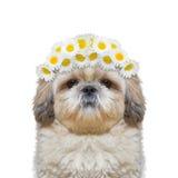 A grinalda da camomila floresce na cabeça de um cão Fotos de Stock Royalty Free