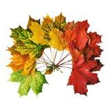 Grinalda das folhas de bordo caídas isoladas no fundo branco Imagem de Stock Royalty Free