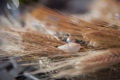 Grinalda do close up do trigo das orelhas Fotos de Stock