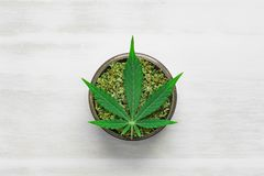 Grinder with crushed weed Leaf of cannabis on a white wooden background top view. Sticky buds of marijuana flowers with cannabis trihoma, cannabis leaf, the royalty free stock photo