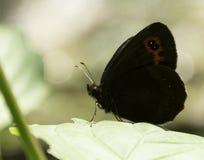 Grindvaktarefjäril på ett blad Fotografering för Bildbyråer
