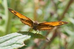 GrindvaktarefjärilsPyronia tithonus arkivfoton