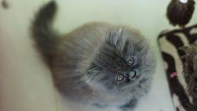 Griniga Grey Kitten Royaltyfria Bilder