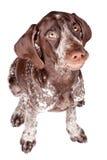 Grining dog Stock Photography