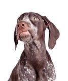 Grining Hund Stockfotografie
