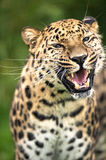 Grinning Amur Leopard royalty free stock images