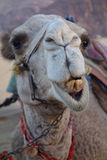 Grinning Camel. Picture of a grinning camel showing its rotten teeth royalty free stock photo