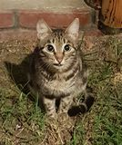 A grinning cat with a displeased glance sits on the grass near the yard on the background of a red brick wall and looks into the royalty free stock photography