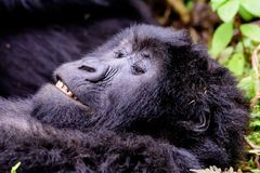 Grinning face of a contented female gorilla. Head shot of a female gorilla ,laying down and apparently grinning Stock Images