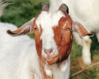 Grinning Goat Stock Photography
