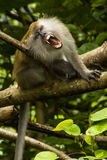 Grinning macaque. In Malaysia, Tioman island Royalty Free Stock Images