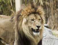 A Grinning Male Lion in a Zoo. A Male Lion Grins in His Zoo Enclosure Stock Photo