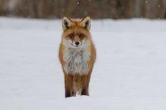 Grinsender roter Fuchs lizenzfreie stockbilder