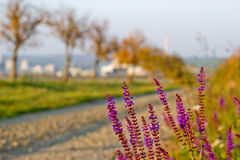 Grintweg in de Herfst met Violet Flowers Stock Afbeelding
