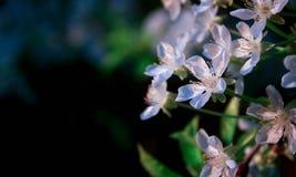 Griotte de floraison Photographie stock libre de droits