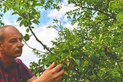 Griottes masculines de cueillette d'agriculteur Le milieu a vieilli l'homme recueillant des griottes dans le cerisier aigre Homme photographie stock