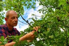 Griottes masculines de cueillette d'agriculteur Le milieu a vieilli l'homme recueillant des griottes dans le cerisier aigre Homme photos stock