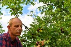 Griottes masculines de cueillette d'agriculteur Le milieu a vieilli l'homme recueillant des griottes dans le cerisier aigre Homme image libre de droits