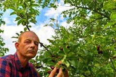 Griottes masculines de cueillette d'agriculteur Le milieu a vieilli l'homme recueillant des griottes dans le cerisier aigre Homme images stock