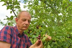 Griottes masculines de cueillette d'agriculteur Le milieu a vieilli l'homme recueillant des griottes dans le cerisier aigre Homme image stock