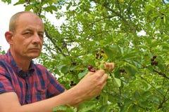 Griottes masculines de cueillette d'agriculteur Le milieu a vieilli l'homme recueillant des griottes dans le cerisier aigre Homme photographie stock libre de droits
