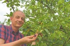Griottes masculines de cueillette d'agriculteur Le milieu a vieilli l'homme recueillant des griottes dans le cerisier aigre Homme images libres de droits