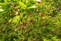 Griottes organiques accrochant dans l'arbre L'arbre de prunus cerasus avec le rouge rippen des fruits Photo libre de droits