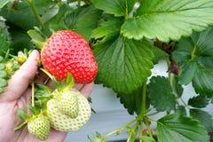 Gripa en jordgubbe från jordgubbeträd royaltyfri foto