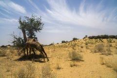Gripande lunch för kamel i matställen Arkivfoto
