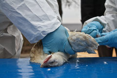 Gripe aviar Fotografía de archivo