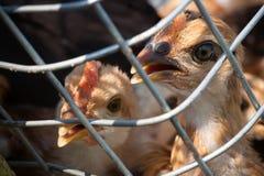 Gripe das aves Imagens de Stock
