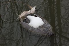 Gripe do pássaro Fotos de Stock Royalty Free