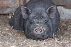Gripe dos suínos perigo da epidemia imagens de stock