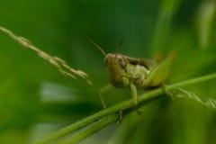 Grippage de sauterelle sur les branches ou herbe avec le fond vert photo libre de droits