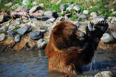 Gripping His Fish. Grizzly bear wrestles with a salmon.  He is sitting waist deep in water and it drips from his paws Royalty Free Stock Photography