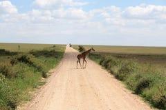 griraffe скрещивания Стоковая Фотография RF