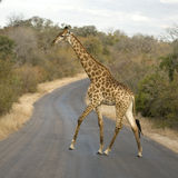 Griraffe crossing the road Stock Images