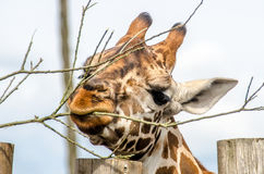 Griraffe eating. From a tree Stock Image